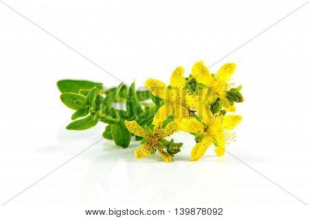 St. John's Wort blooming flowers isolated on a white background
