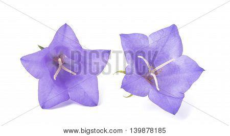 Bellflowers isolated on white background. Campanula rotundifolia
