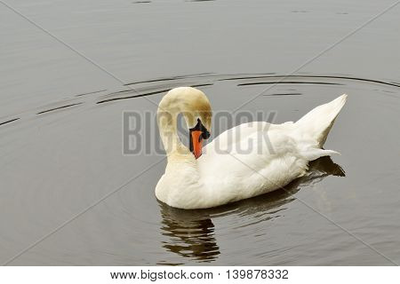 A lone white Swan swimming on the lake and the city Park.