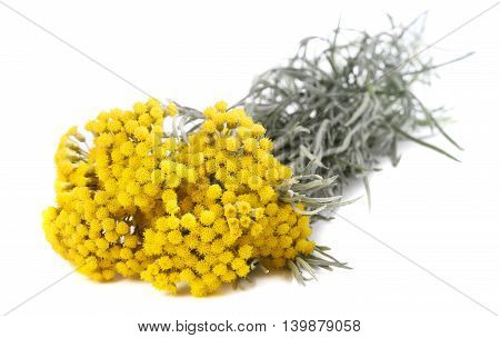 helichrysum flowers isolated on a white background