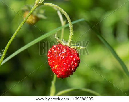 Small wild strawberry in forest in wild nature