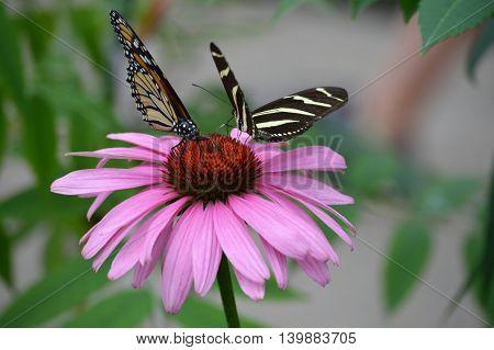 A Monarch butterfly on a flower in the garden