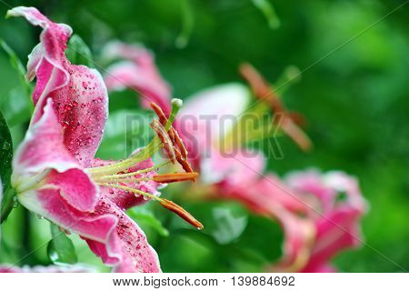 A coseup of wet pink Tiger lilies with copy space