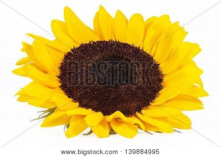 blooming sunflower on white background close up.