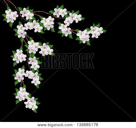 Beautiful delicate white flowers of apple blossom isolated on black background.