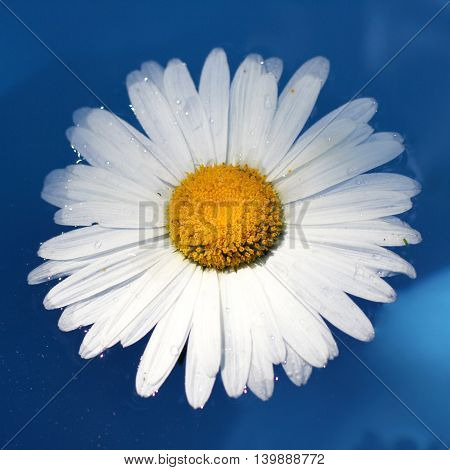 chamomile flower floating on the water surface top view / daisy on the water