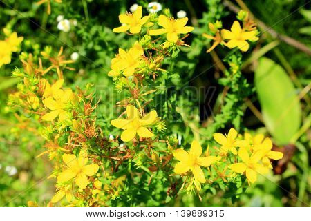 Yellow beautiful flowers of medical St.-John's wort