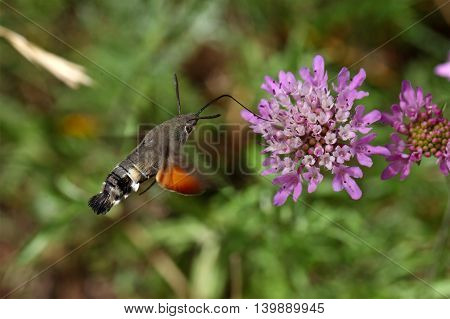 A hummingbird hawk-moth (Macroglossum stellatarum) flying and drinking on a flower.