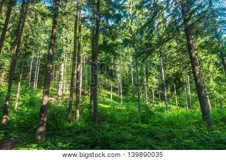 a pine forest in the Carpathian Mountains
