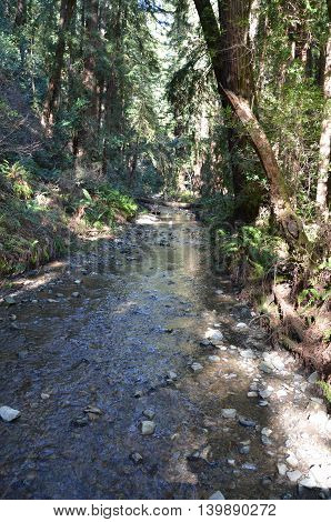 Babbling brook with trees in Muir Woods, California