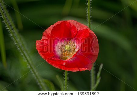 Red poppy flower in a meadow close-up
