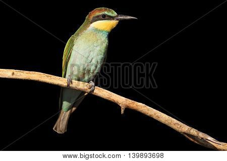 young bird with green plumage isolated on black, european bee eater