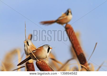 unusual birds with bright plumage, hidden birds, birds that live in the swamp, Bearded reedling