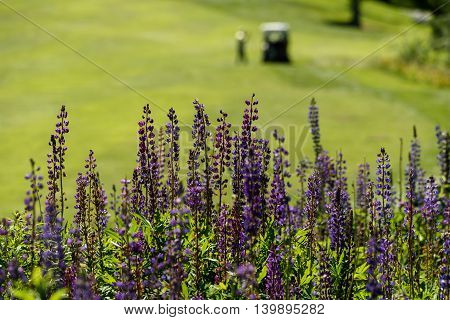 Scenic view on a golf course, lupine up close with a golfer and cart blurred in the background