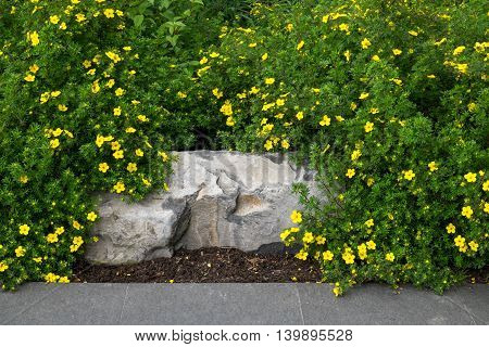 Stone bench being overgrown by potentilla, yellow flowering shrub