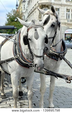 Pair of white horses harnessed to a carriage