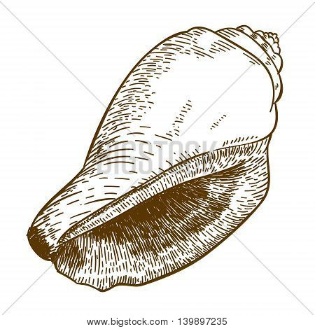 Vector antique engraving illustration of cone seashell isolated on white background