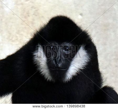A facial portrait of a male white cheeked gibbon (Hylobates concolor leucogenys)