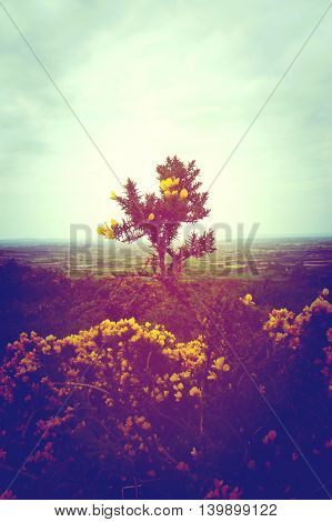 A gorse bush growing upwards on a hill standing tall and bright amid a barren Irish landscape
