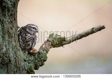 Little Owl With Hunted Mouse