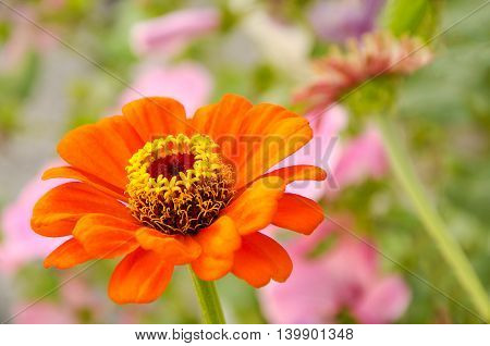 Beautiful flower against the blossoming bed background in a garden