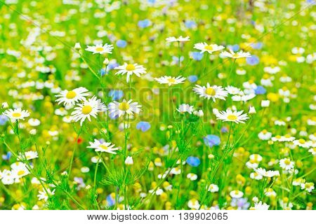 White daisy in meadow. Floral background