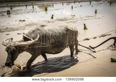 Plough with water buffalo rice field Asia