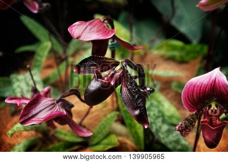 A dark purple 'Lady's Slipper Orchid' ('Paphiopedilum Cypripedium') in a tropical garden in Singapore.