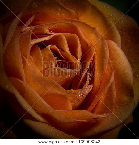 big red rose flower with dew drops