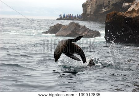 closeup of sea lion jumping out of the water in Galapagos