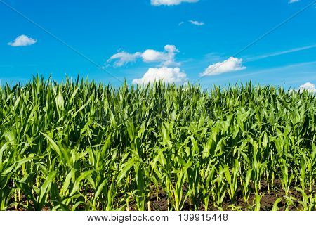 corn field against the blue sky mays, farm