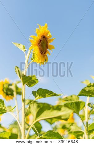 plantation yellow  sunflowers growing in the field