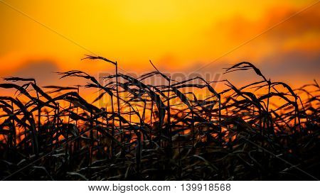 Cornstalks dancing in the wind at sunset.