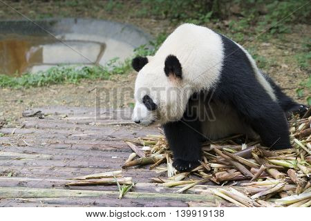 close up of giant panda bear in Chengdu China