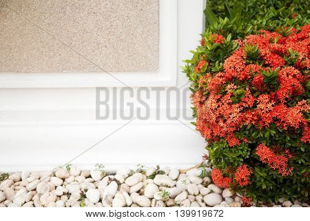 Red blossoming bush next to a white wall with copy space. Foliage and flowers in a garden frame background