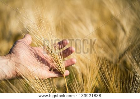 A Man's Hand Holding Ears Of Barley. Agriculture. Sunset.