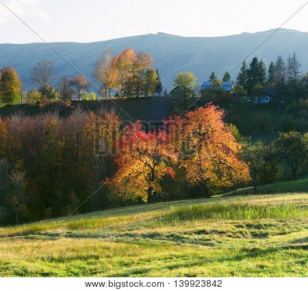 Autumn landscape in mountain village. Sunny weather in the evening. Beautiful cherry tree with yellow and orange leaves. Carpathian, Ukraine, Europe
