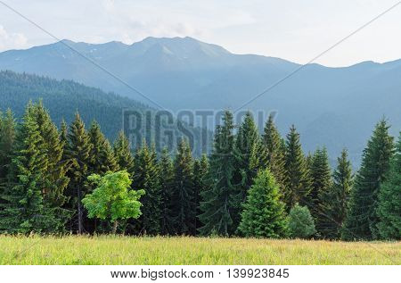 Summer landscape in the mountains. Maple tree on a green meadow with grass. Mountain slopes with fir forest. Karpaty, Ukraine, Europe