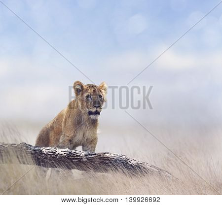 Lion Cub in the grassland