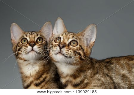 Closeup Portrait of Two Bengal Kitten on Dark Background, Front view, Curious Looking up