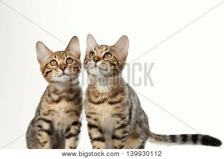 Portrait of Two Bengal Kitten on White Background, Front view, Curious Looking up