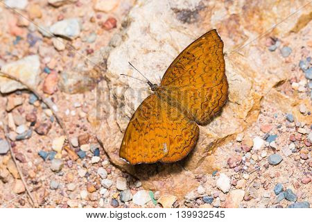 Common Castor Butterfly