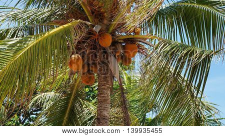 Orange coconuts hanging on coconut palm tree
