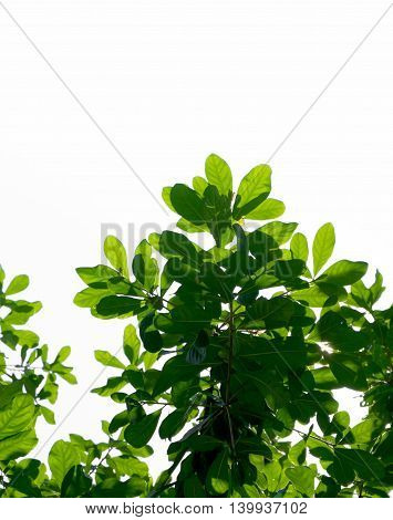 Look Up View, Green Tree ,isolated On White Background