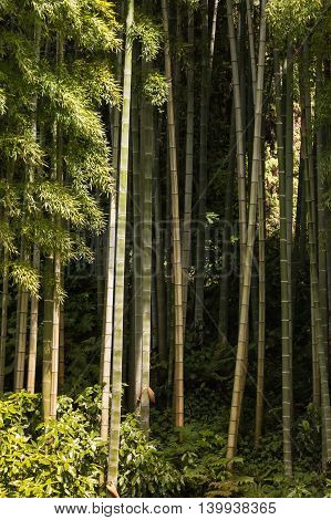 sunlit giant bamboo stems growing in forest