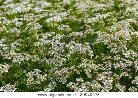 Field blossoming Orlaya daucoides. Beautiful and rich nature of the Crimea.