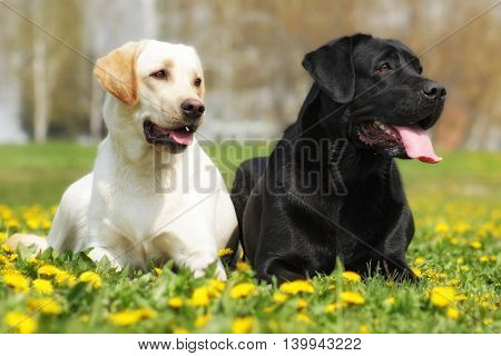 two happy family dogs are Labrador retrievers laying in the summer grass with dandelions. pale-yellow and black