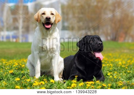 two happy family dogs are Labrador retrievers in the summer on grass with dandelions in the city. pale-yellow and black
