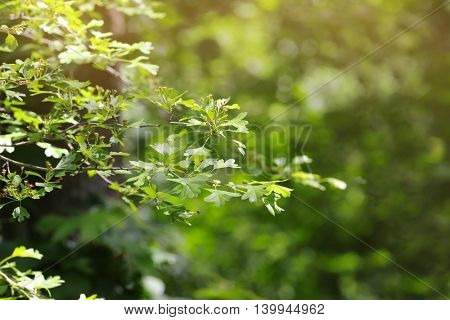 Green leaves and branches on a blurred nature background