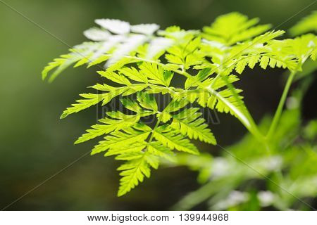 Green leaves on a blurred nature background